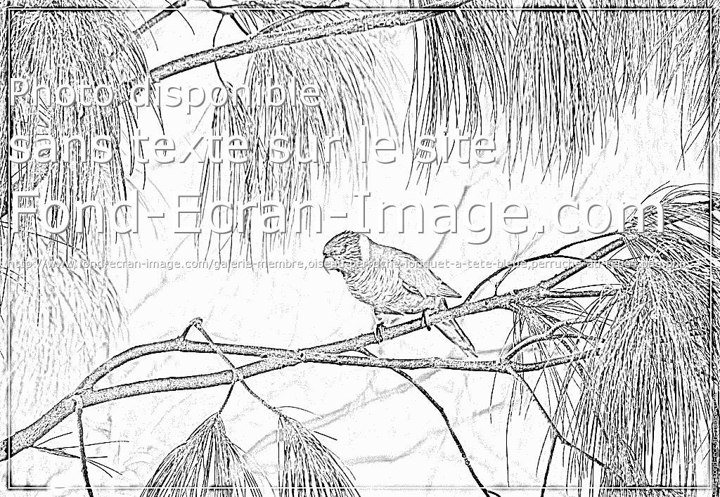 coloriage à dessiner perruche