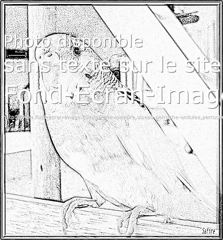 dessin à colorier perruche ondulée