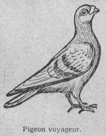 13 dessins de coloriage pigeon voyageur imprimer - Dessin de pigeon ...