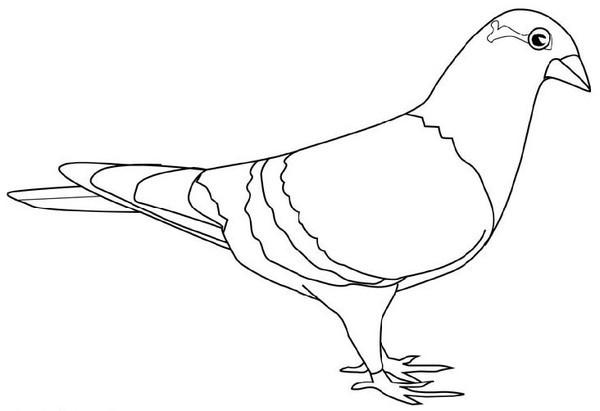 Dessin pigeon ramier - Dessin pintade ...