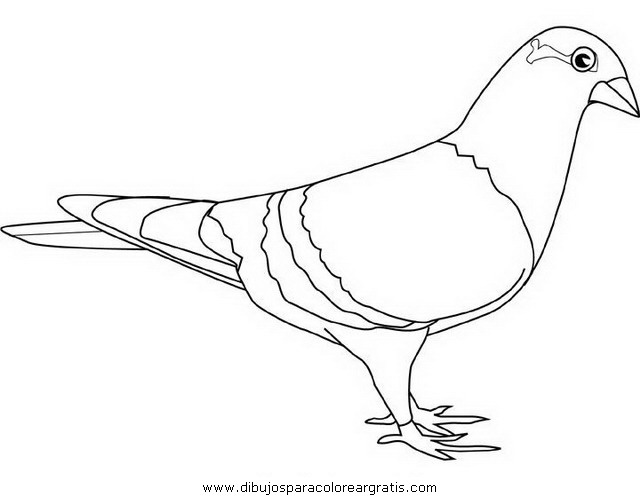 dessin pigeon ramier
