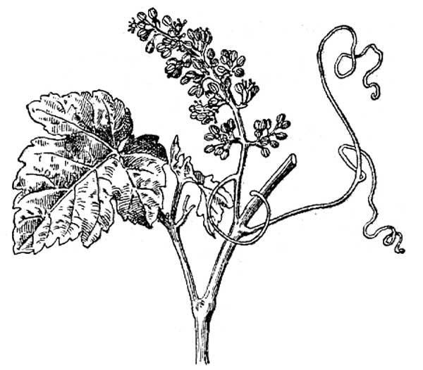 80 Dessins De Coloriage Plante Grimpante A Imprimer