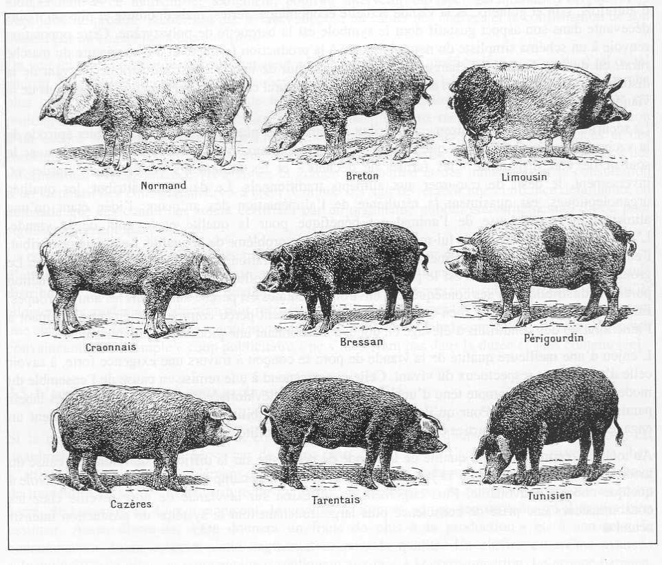 dessin à colorier porc epic