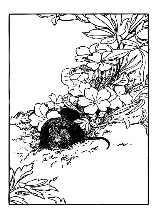 dessin à colorier rat musqué