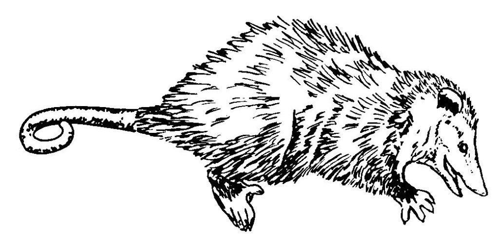 dessin de rat en ligne