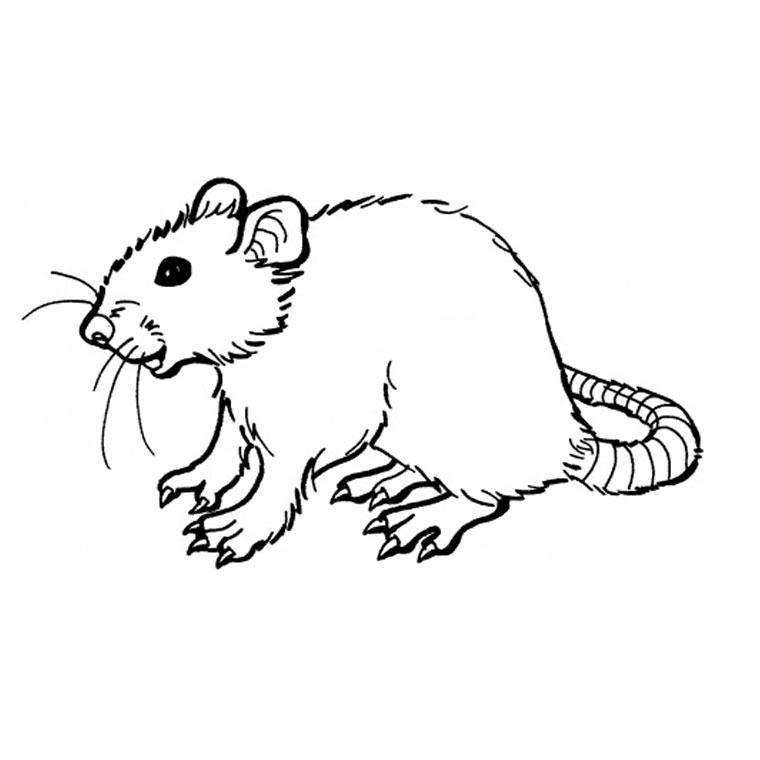 rat en coloriage à dessiner