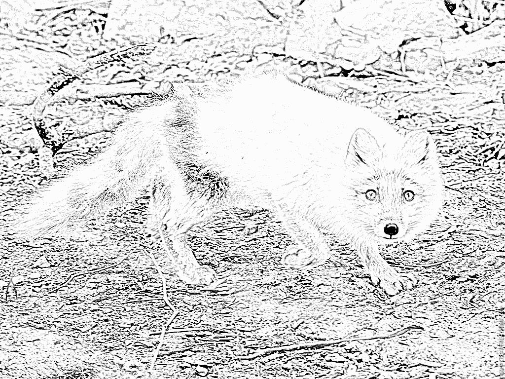 coloriage à dessiner renard imprimer gratuit