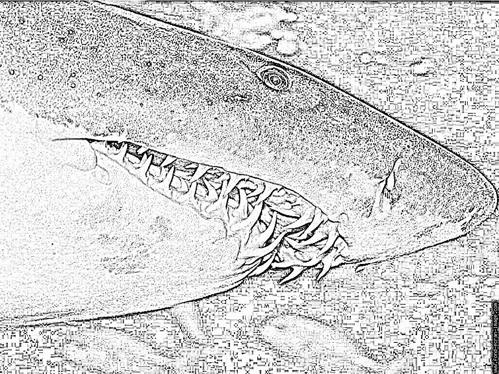 dessin à colorier de requin tigre