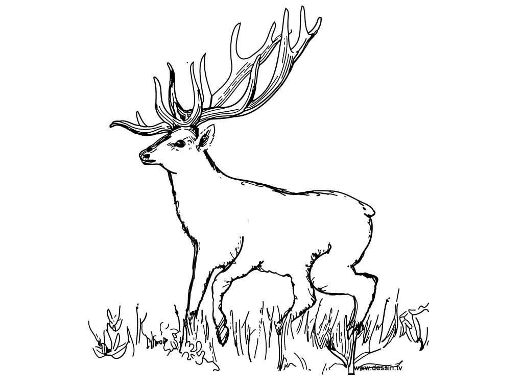Coloriage de chasse au sanglier a imprimer - Dessiner un cerf ...