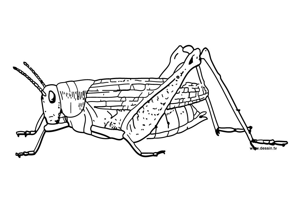 coloriage à dessiner de sauterelle
