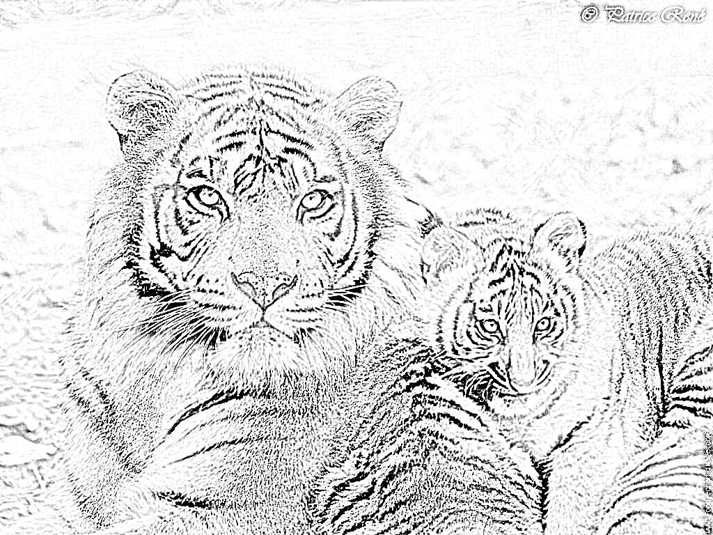 18 dessins de coloriage Tigre Du Bengale à imprimer