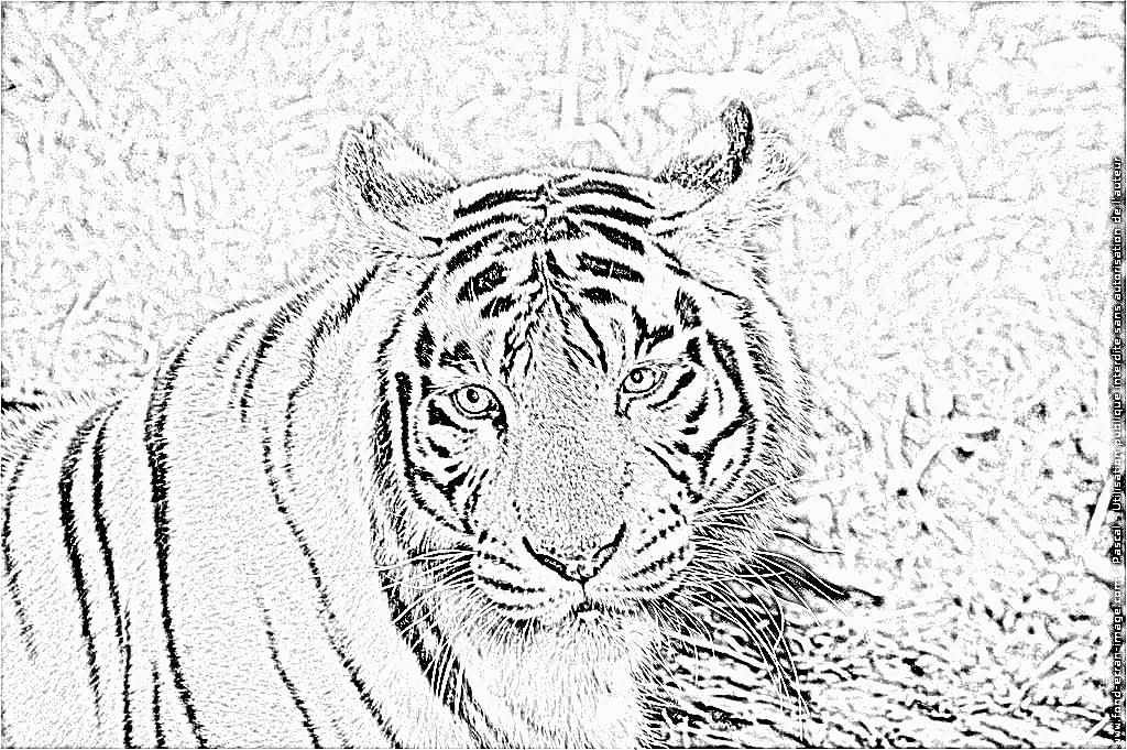 Coloriage tigre en ligne - Image dessin tigre ...