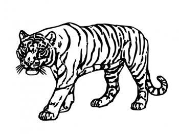 Dessin à Colorier De Tigre Blanc Gratuit