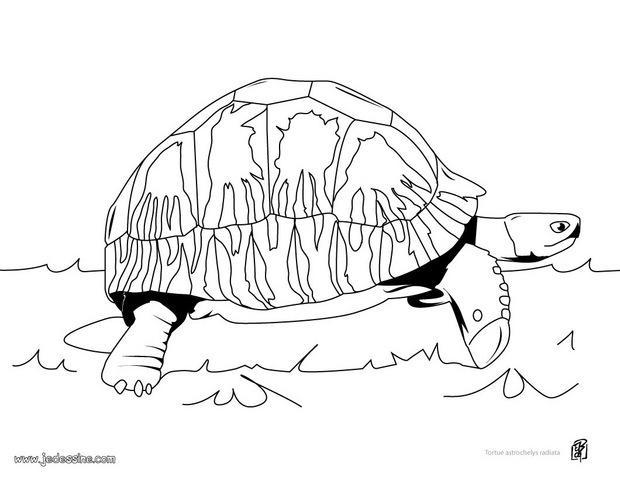 coloriage tortue de terre