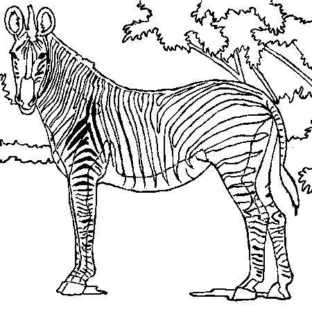 coloriage à imprimer zebre
