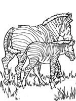 coloriage à dessiner animaux zebre
