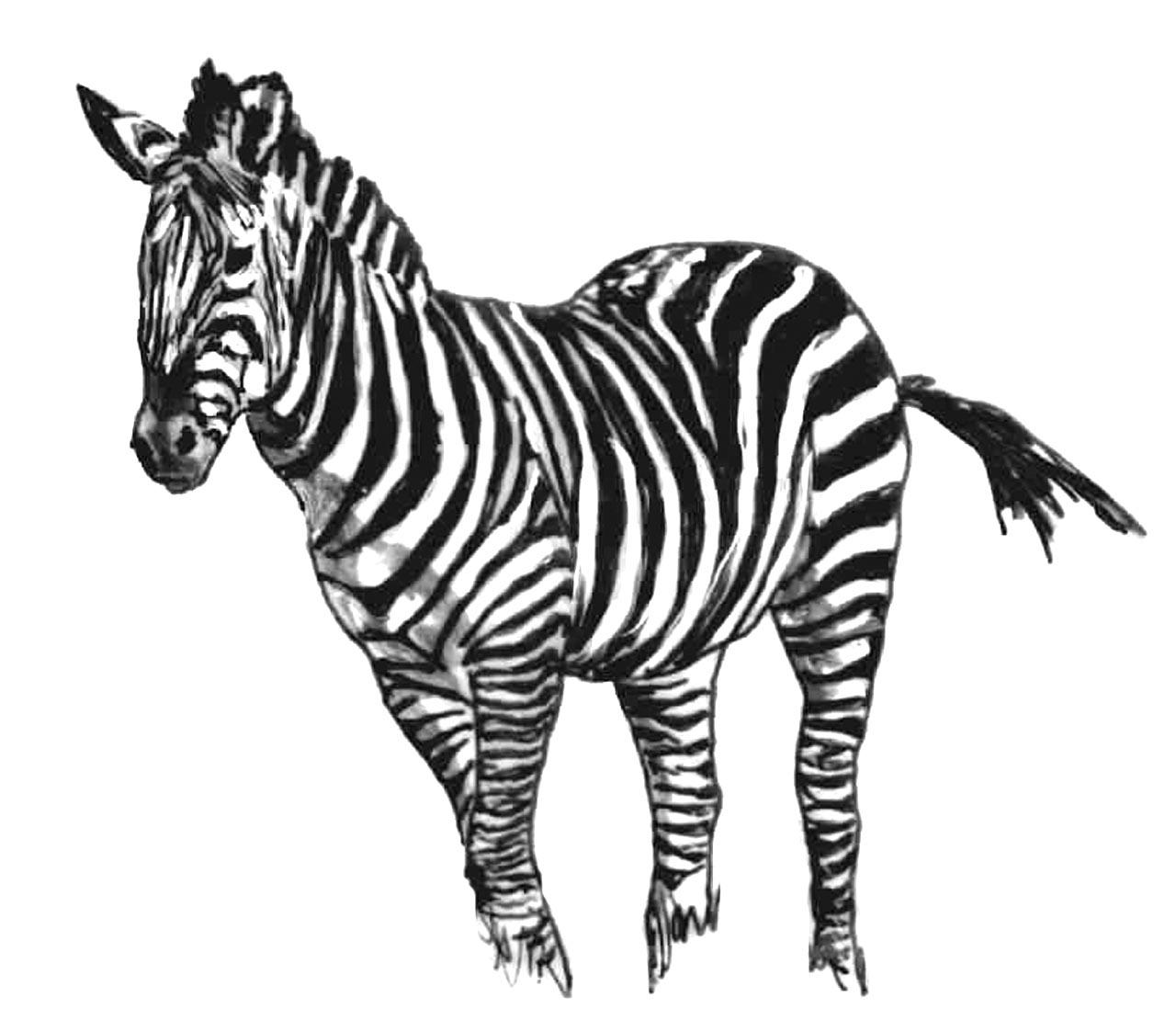 dessin à colorier d'un zebre